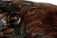 Stock Photo of Close-up of Tollbunt tricolor Polish chicken feathers, 6 months