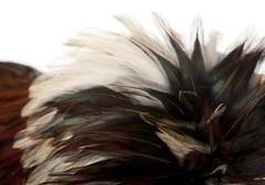 Stock Photo of Close-up of Tollbunt tricolor Polish Rooster feathers, 6 months