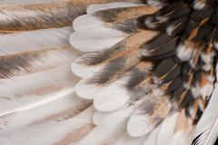 Close-up of Tollbunt tricolor Polish Rooster feathers, 6 months - stock photo