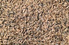 Rice peel. Background. - stock photo