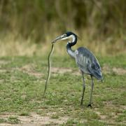 Black-headed Heron, Ardea melanocephala, with snake in beak - stock photo