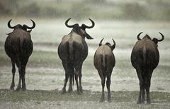 Wildebeest in the rain, Serengeti National Park, Serengeti, Tanz Stock Photos