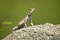 Stock Photo of Rock Agama, Serengeti National Park, Serengeti, Tanzania