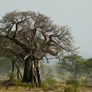 Baobab tree in landscape, Tanzania, Africa - stock photo