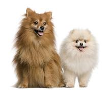 Two Spitz, 4 and 7 years old, in front of white background, stud - stock photo