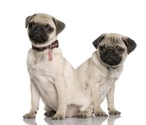 Two pug puppies, 3 and 4 months old, sitting in front of white b - stock photo