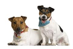 Two Jack Russell Terriers sitting in front of white background, Stock Photos