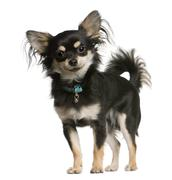 Chihuahua dog, 9 months old, standing in front of white background, studio shot Stock Photos