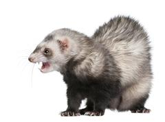 Ferret, Mustela putorius furo, 3 years old, in front of white background Kuvituskuvat