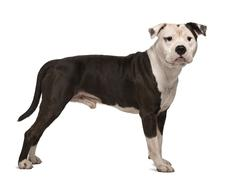 American Staffordshire Terrier, 4 years old, standing in front of white backgrou - stock photo