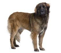 Leonberger dog, 2 years old, standing in front of white background - stock photo