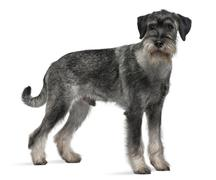 Standard Schnauzer, 9 months old, standing in front of white background Stock Photos