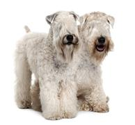 Two Soft-coated Wheaten Terriers, 1 year old, sitting in front of white backgrou - stock photo