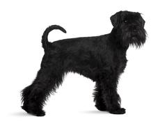 Schnauzer, 2 years old, standing in front of white background - stock photo