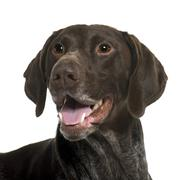 German Shorthaired Pointer dog, 5 years old, in front of white background - stock photo