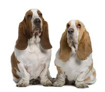 Two Basset Hounds, 1 Year Old And 3 Years Old, sitting in front of white backgro - stock photo
