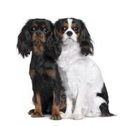 Stock Photo of Two Cavalier King Charles Spaniels, 8 Months and 9 Month old, si
