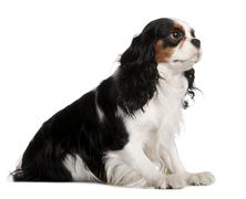 Cavalier King Charles Spaniel, 2 years old, sitting in front of - stock photo