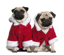 Portrait of two Pugs, 1 and 2 years old, dressed in Santa coat i - stock photo