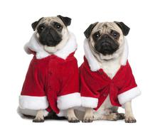 Two Pugs in Santa coats, 1 and 2 years old, sitting in front of - stock photo