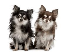 Portrait of two Chihuahuas, 7 years old, sitting in front of whi - stock photo
