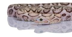 Scaleless corn snake or red rat snake, Pantherophis guttatus, in Stock Photos