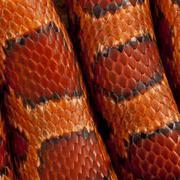 Close-up of corn snakeskin or red rat snakeskin, Pantherophis gu - stock photo