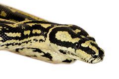 Morelia spilota variegata, a subspecies of python, against white Stock Photos