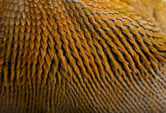Close-up of scales on Lawson's dragon, Pogona henrylawsoni - stock photo