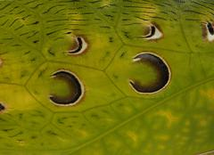 Close-up of grasshopper, Malaysian Leaf Katydid, Ancylecha fenes - stock photo