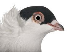 Polish helmet or Kryska Polska, a breed of fancy pigeon, in fron - stock photo