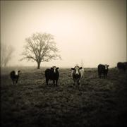 Livestock facing camera, foggy morning - stock photo