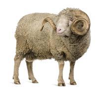 Arles Merino sheep, ram, 5 years old, standing in front of white - stock photo