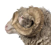 Side view of Arles Merino sheep, ram, 5 years old, in front of w - stock photo
