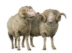 Two Arles Merino sheep, rams, standing in front of white backgro - stock photo