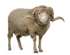 Arles Merino sheep, ram, 3 years old, standing in front of white - stock photo