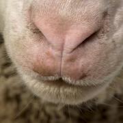 Close-up of Arles Merino sheep nose and mouth - stock photo