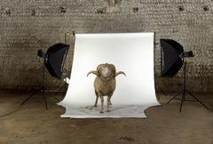 Arles Merino sheep, ram, 3 years old, standing in photo shoot st Stock Photos