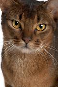 Close up of a Abyssinian (9 months old) Stock Photos