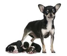 Mother Chihuahua  and her puppies, 4 days old, in front of white Stock Photos