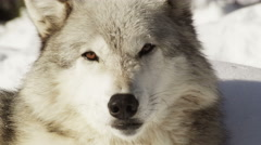 Closeup on wolf's face looking in the camera - stock footage