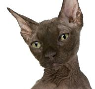 Old Sphynx cat, 12 years old, in front of white background Stock Photos