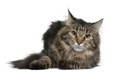 Maine coon, 1 year old, lying in front of white background Stock Photos