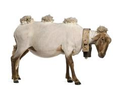 Stock Photo of Side view of Mourerou sheep wearing bell in front of white background