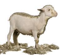 Partially shaved Merino lamb, 4 months old, in front of white background Stock Photos