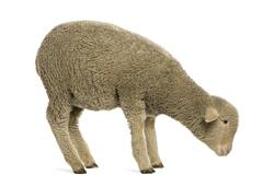Merino lamb, 4 months old, standing in front of white background Stock Photos
