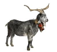 Rove goat, 5 years old, standing in front of white background Stock Photos