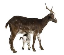 Female Rove goat with kid standing in front of white background Stock Photos