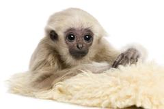 Young Pileated Gibbon, 4 months old, in front of white background - stock photo