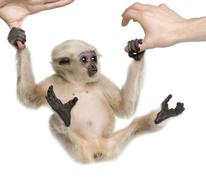 Young Pileated Gibbon, 4 months old, Hylobates Pileatus, swingin - stock photo